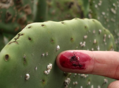 Cochineal insects on cactus